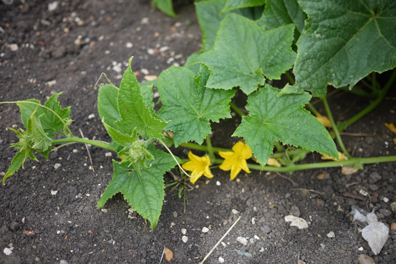 cucumber plant in flower