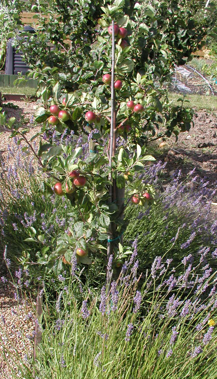 allotment apples july 2009