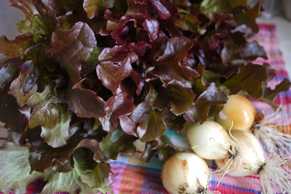 lettuce from allotment