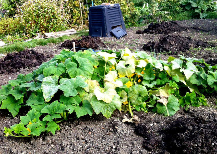 Pattison Blanc Patty Pan plant