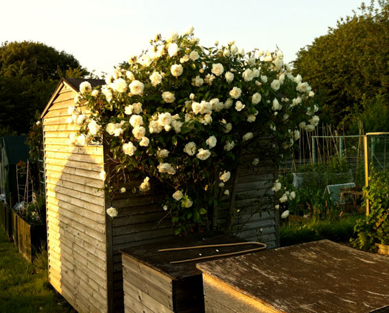 white roses at allotment